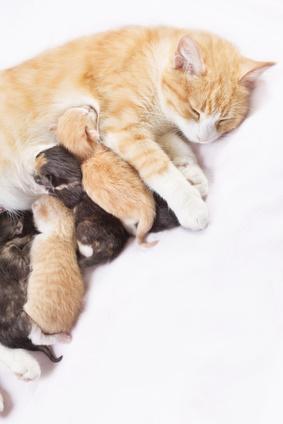 comment se passe la gestation du chat