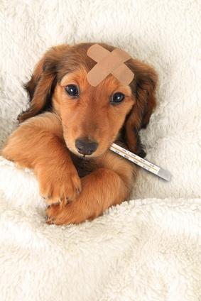 symptômes fièvre chien