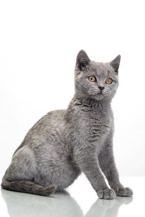 Soigner l'insuffisance rénale chronique chez le chat