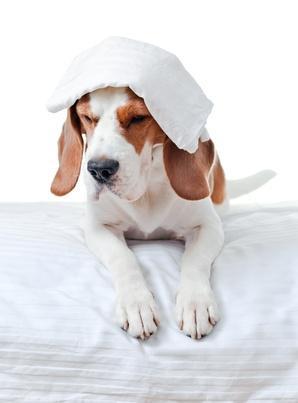 Reconnaître les différents types de tremblements chez le chien