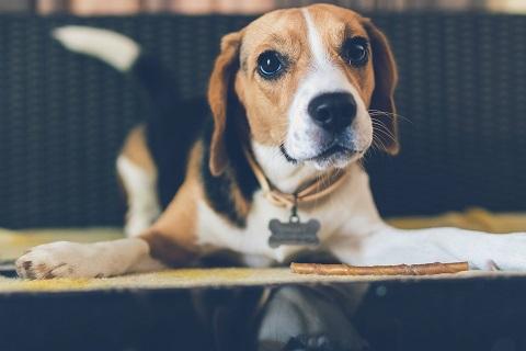 Des croquettes adaptées pour le chien Beagle