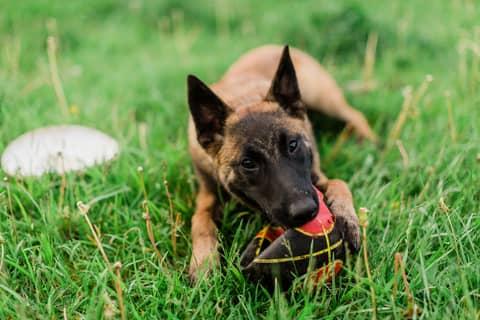 Des croquettes adaptées pour le chien Berger Belge Malinois