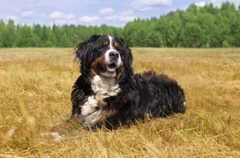 Des croquettes adaptées pour le chien Bouvier Bernois