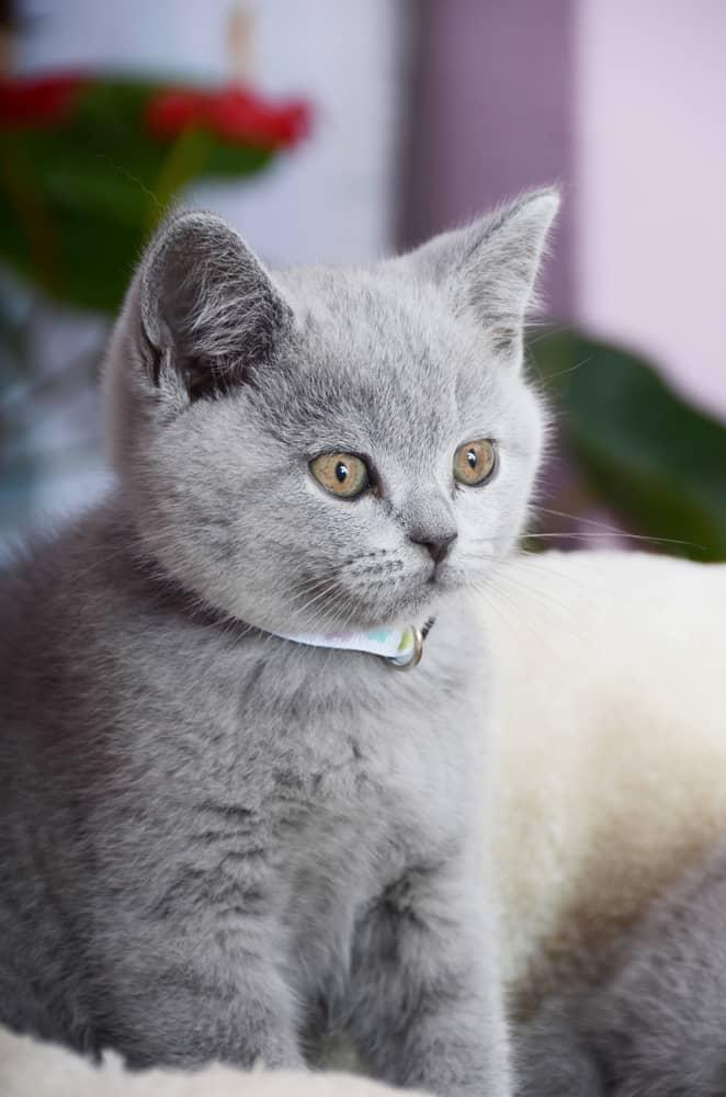 Une alimentation adaptée pour le chat British Shorthair