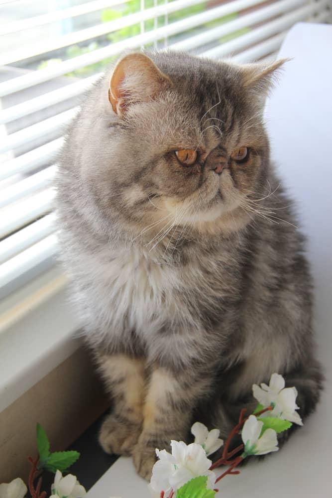 Une alimentation adaptée pour le chat Exotic Shorthair