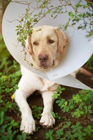 soigner un abcès chez le chien