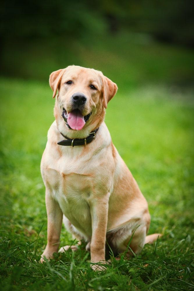 Une alimentation adaptée pour le chien labrador