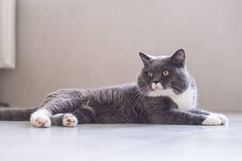Des croquettes adaptées pour le chat British Shorthair