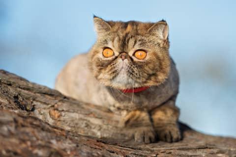 Des croquettes adaptées pour le chat Exotic Shorthair
