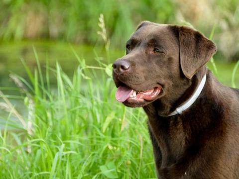Des croquettes adaptées pour le chien Labrador