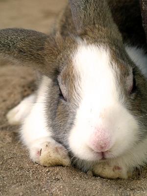 quelles sont les maladies du lapin