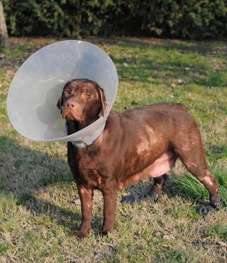 Les formes et symptômes de la pyodermite chez le chien