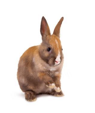 Causes et symptômes de la pododermatite du lapin