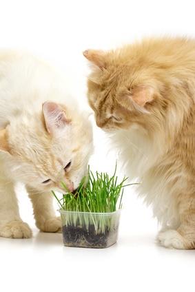 vertus herbe à chat