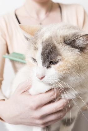 Pourquoi votre chat perd-il ses poils