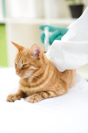 Contrôler le diabète de son chat