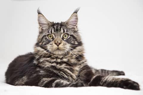 Des croquettes adaptées pour le chat Maine Coon