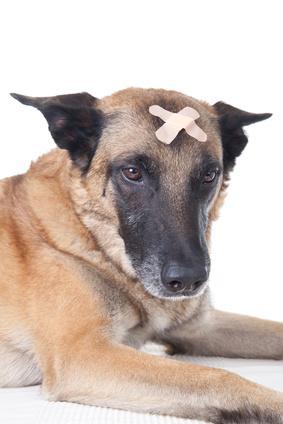 soigner une piqûre de guêpe chez le chien
